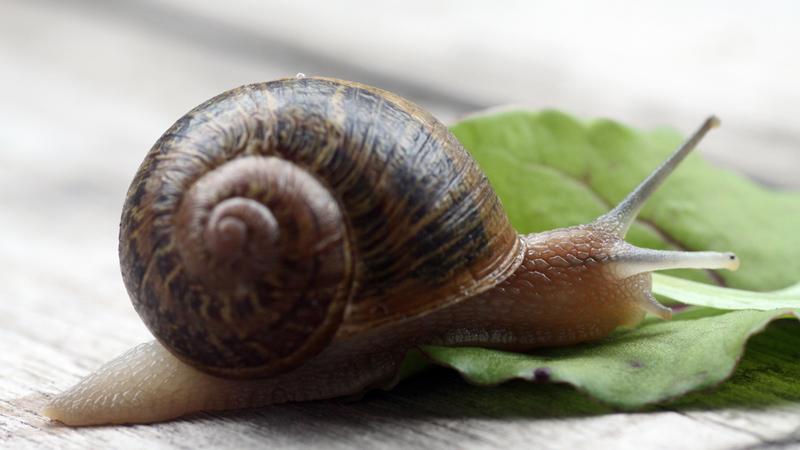 Glasshouse Gourmet Snails