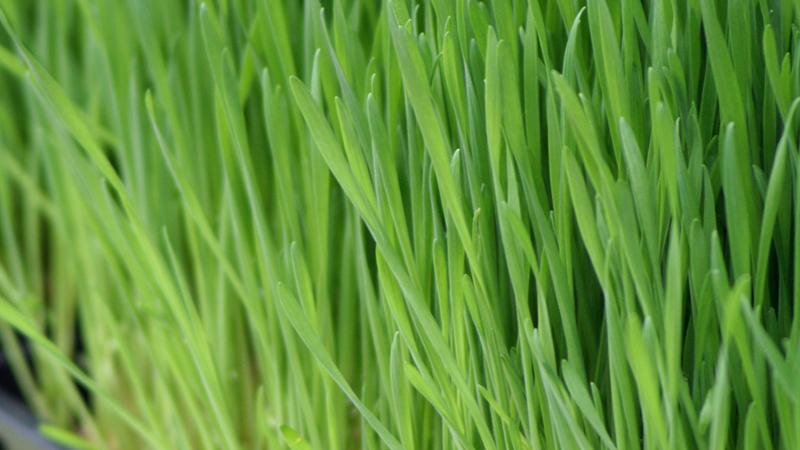 Wheatgrass Noosa
