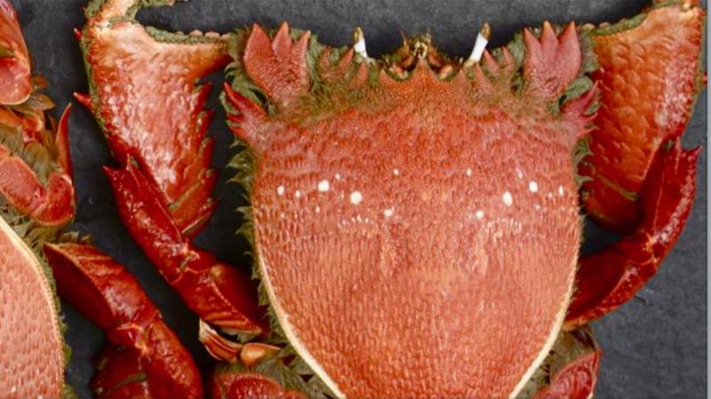 Fraser Isle Spanner Crab