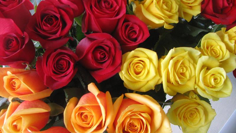 Jabula Roses
